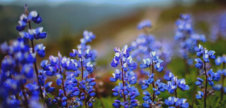 Neelakurinji Blooms。(圖取自網路)